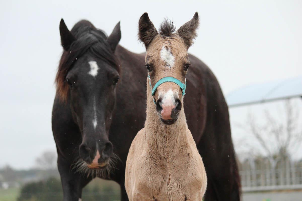 Bedækning video heste Kan rides